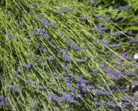Lavender flower in provence Royalty Free Stock Photography
