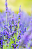 Lavender flower, Provence, France Royalty Free Stock Photography