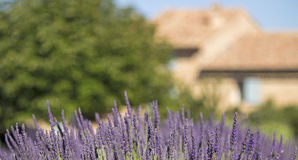 Lavender flower from Provence. France Royalty Free Stock Photography