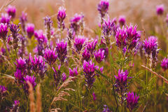 Lavender flower purple field nature flowers color Stock Images