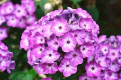 Lavender Flower stock photo