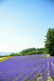 Lavender flower in the row Royalty Free Stock Image