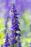 Lavender flower selective focus with shallow depth of field. Lavender flower selective focus with shallow  depth of field Royalty Free Stock Photography