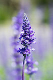 Lavender flower selective focus with shallow depth of field. Lavender flower selective focus with shallow depth  of field Stock Images
