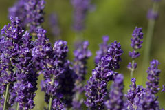 Lavender in flower in summer garden. Detail of Lavender flowers in summer garden Stock Images