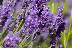 Lavender in flower in summer garden. Detail of Lavender flowers in summer garden Royalty Free Stock Photo