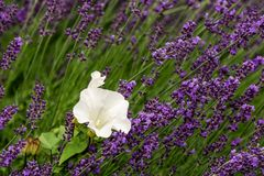 Lavender flower violet Lavandula flowers in nature with copy space royalty free stock photo