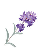 Lavender flower in watercolor paint style. Vector . Gentle blossom floral bouquet isolated on white. Vintage Label with lavender beautiful fragrance Royalty Free Stock Photos