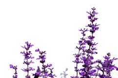 Lavender flower  on white background Stock Images