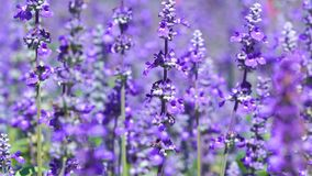 Lavender flower with wind blow. The lavender flower with wind blow stock video