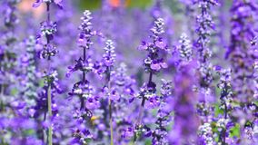 Lavender flower with wind blow. The lavender flower with wind blow stock video footage