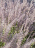 Lavender flowering grass Stock Photo