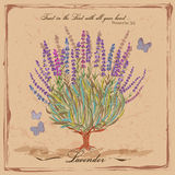 Lavender. Flowering shrub. Royalty Free Stock Photos