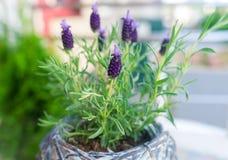 Lavender in flowerpot. Beautiful lavender in flowerpot. Closeup royalty free stock images