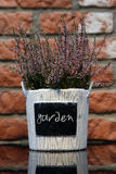 Lavender in a flowerpot Royalty Free Stock Photo