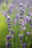 Lavender Flowers. Beautiful lavender flowers in meadow stock images