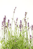 Lavender flowers. Beautiful lavender flowers isolated on white background stock image