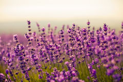 Lavender flowers. Purple lavender flowers in the field Stock Photos