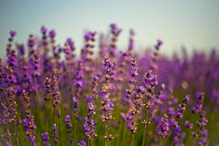 Lavender flowers. Purple lavender flowers in the field stock image
