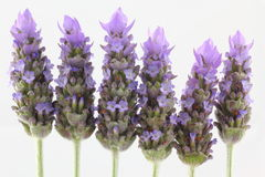 Lavender flowers. Six Lavender flowers arranged in a row, isolated, with neutral background Royalty Free Stock Photography