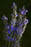 Lavender flowers Royalty Free Stock Image