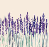 Lavender flowers. Hand painted watercolour lavender flowers Stock Image