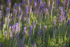 Lavender flowers Stock Images