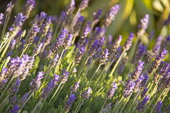 Lavender flowers. Blooming in a field Stock Photo