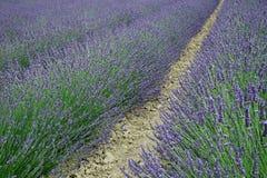 Lavender flowers Stock Photos