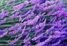 Lavender flowers. Image shows stalks with lavender flowers photographed with a shallow depth of field. (lavandula angustifolia Stock Photo