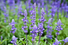 Free Lavender Flowers Royalty Free Stock Photography - 42221257