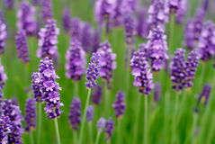Lavender Flowers. In a field Royalty Free Stock Photos