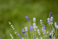 Lavender flowers. On green blurry background royalty free stock photos