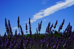 Lavender flowers Royalty Free Stock Images