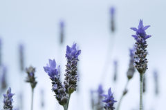 Lavender Flowers Against the Sky Royalty Free Stock Photography