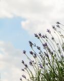 Lavender flowers against the sky. Summer city background. Royalty Free Stock Photo