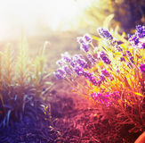 Lavender flowers in autumn garden or park, toned stock photos