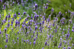 Lavender flowers background Royalty Free Stock Photos