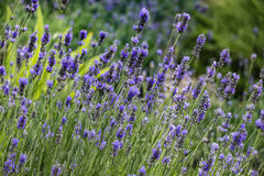 Lavender flowers background Stock Images