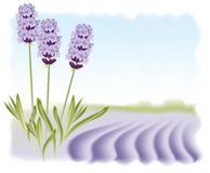 Lavender flowers on a background field. Vector illustration Stock Images
