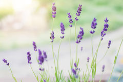 Lavender flowers on the background of herbs Stock Photos