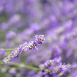 Lavender Flowers Background Soft Focus Stock Photos