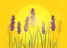 Lavender flowers on background of sunset. Royalty Free Stock Photography