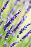 Lavender flowers background Royalty Free Stock Images