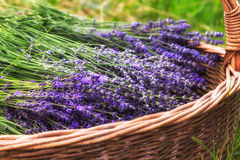 Lavender Flowers. Basket with cut flowers of lavender stock photo
