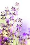 Lavender Flowers. Beautiful detail of a lavender field Stock Photos