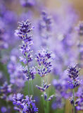 Lavender flowers. Beautiful lavender flowers in a field Stock Photography