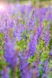 Lavender flowers Stock Photo