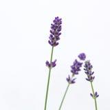 Lavender flowers Royalty Free Stock Photos
