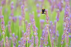 Lavender flowers and bee detail with nice bokeh Royalty Free Stock Photography